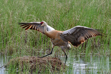 For Years I Have Been Hoping To Find A Pair Of Nesting Sandhill Cranes They Are Quite Common In The West Country During Breeding Season But Their
