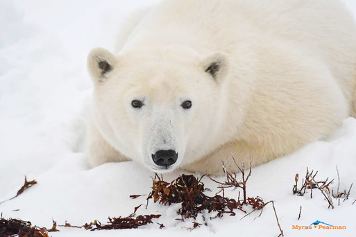 polar bear and global warming essay